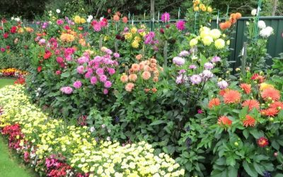 Maximize Garden Color With Dahlias