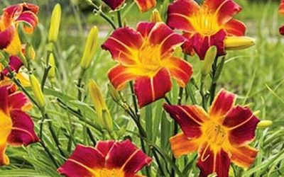 5 Easy Texas Perennials for Garden Coverage and Color