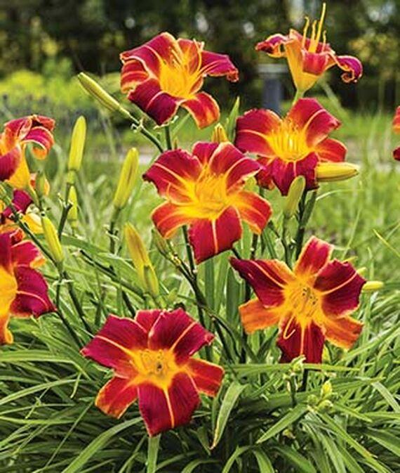 5 Easy Texas Perennials for Garden Coverage and Color